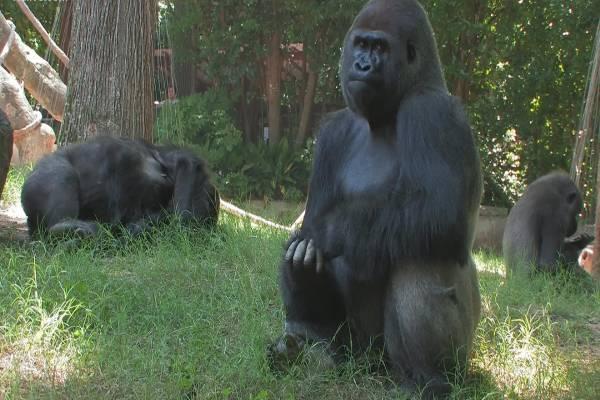 COVID-19: Gorillas at Atlanta Zoo test positive